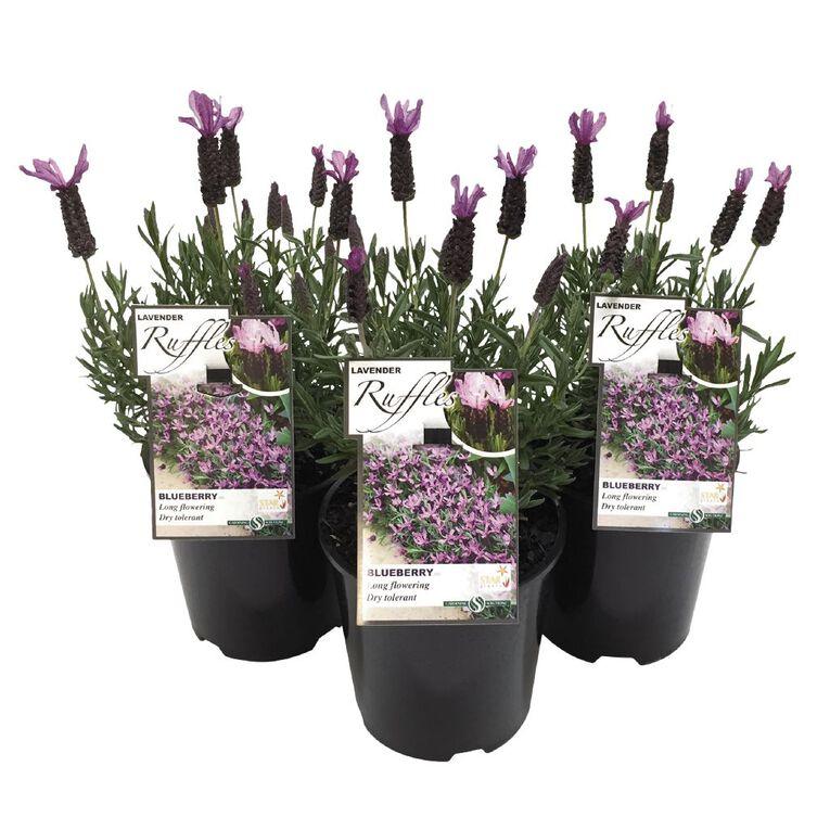 Lavender Blueberry Ruffles 1.9L Pot, , hi-res