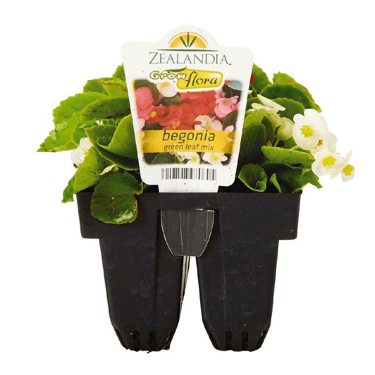 Growflora Begonia Green Leaf Mix, , hi-res