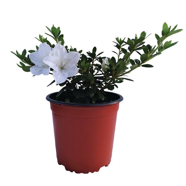 Azaleas 1.5L Pot, , hi-res