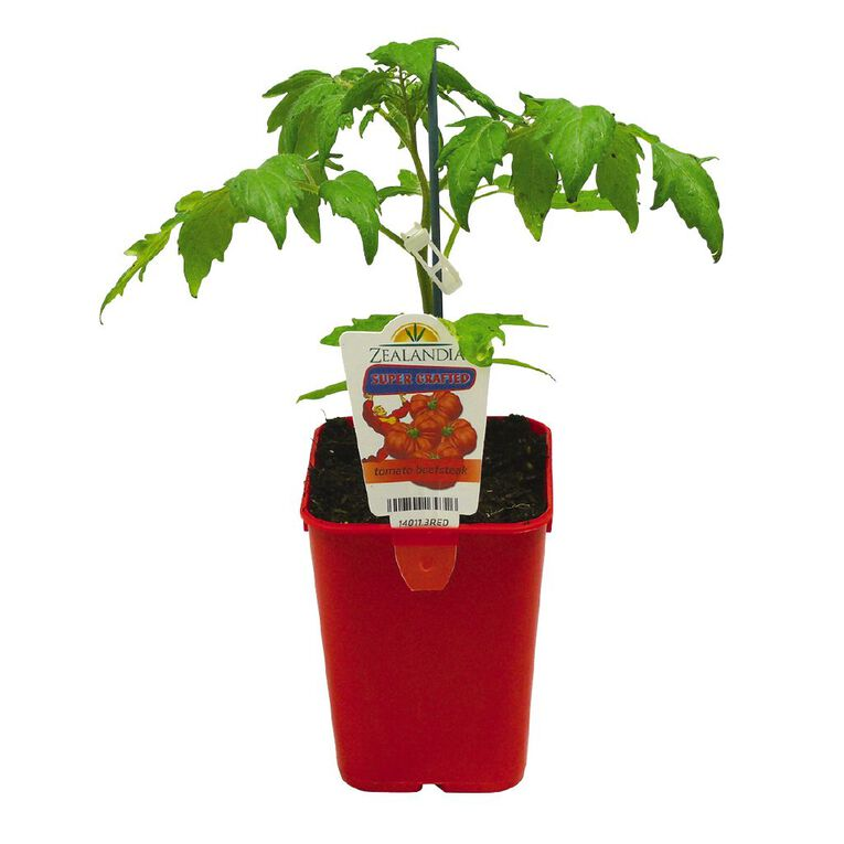 Supergrafted Tomato Beefsteak 1.3L Pot, , hi-res